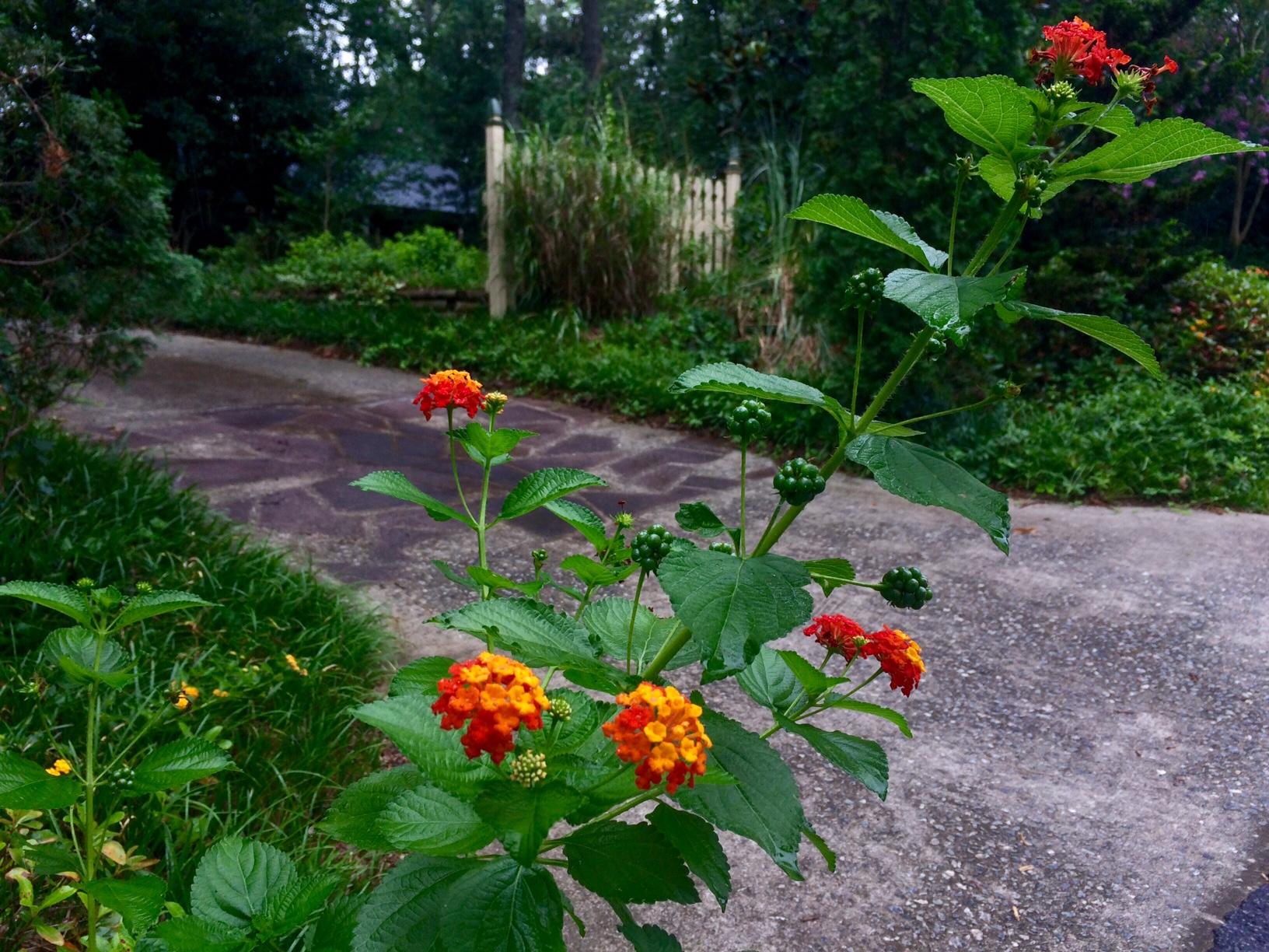 Beautiful flowers and driveway in neighborhood 7.2017
