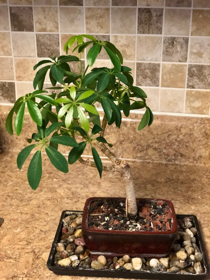 Bonsai Tree New 1